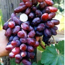 Средние сорта винограда