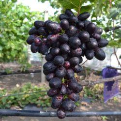 Виноград ПВП 6-12