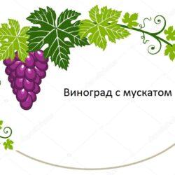 Сорта винограда с мускатом