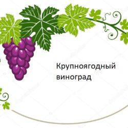 Виноград с очень большой ягодой